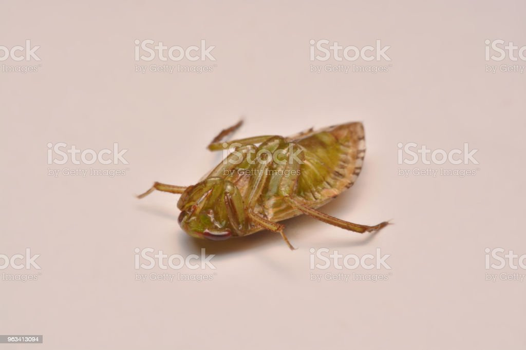Giant vatten bugg nymf familjen Belostomatidae - Royaltyfri Belostomatidae Bildbanksbilder