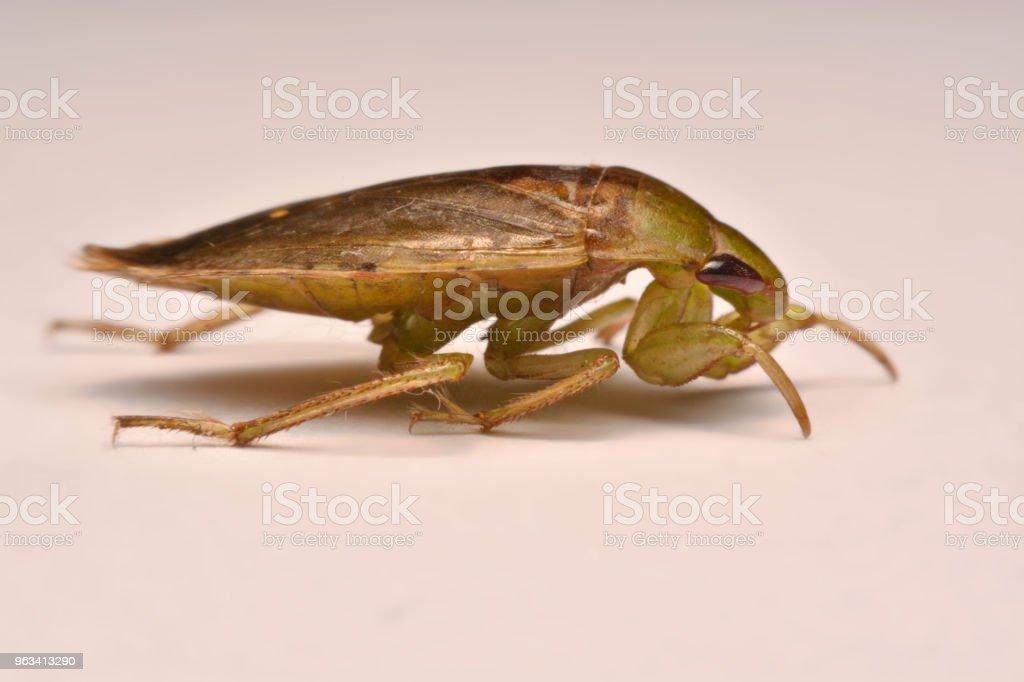 Giant Water Bug Nymph Rodzina Belostomatidae - Zbiór zdjęć royalty-free (Belostomatidae)