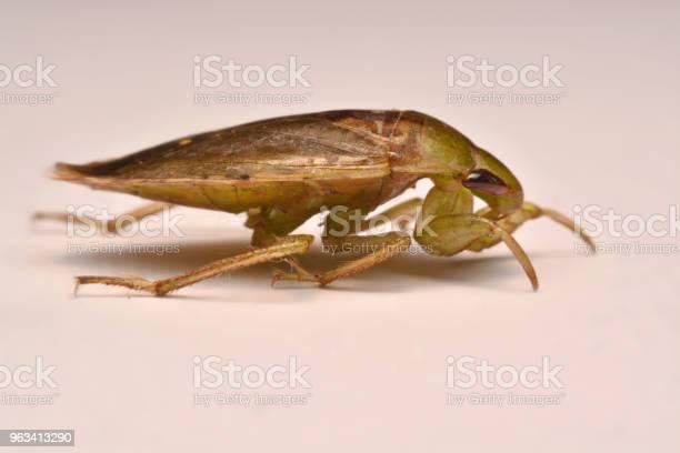Giant Water Bug Nymph Rodzina Belostomatidae - zdjęcia stockowe i więcej obrazów Belostomatidae