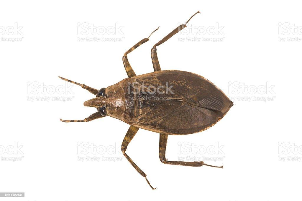Giant insecto de agua - foto de stock
