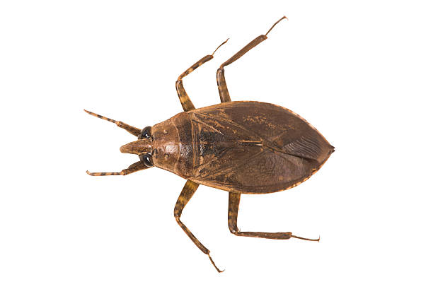 Giant Water Bug stock photo