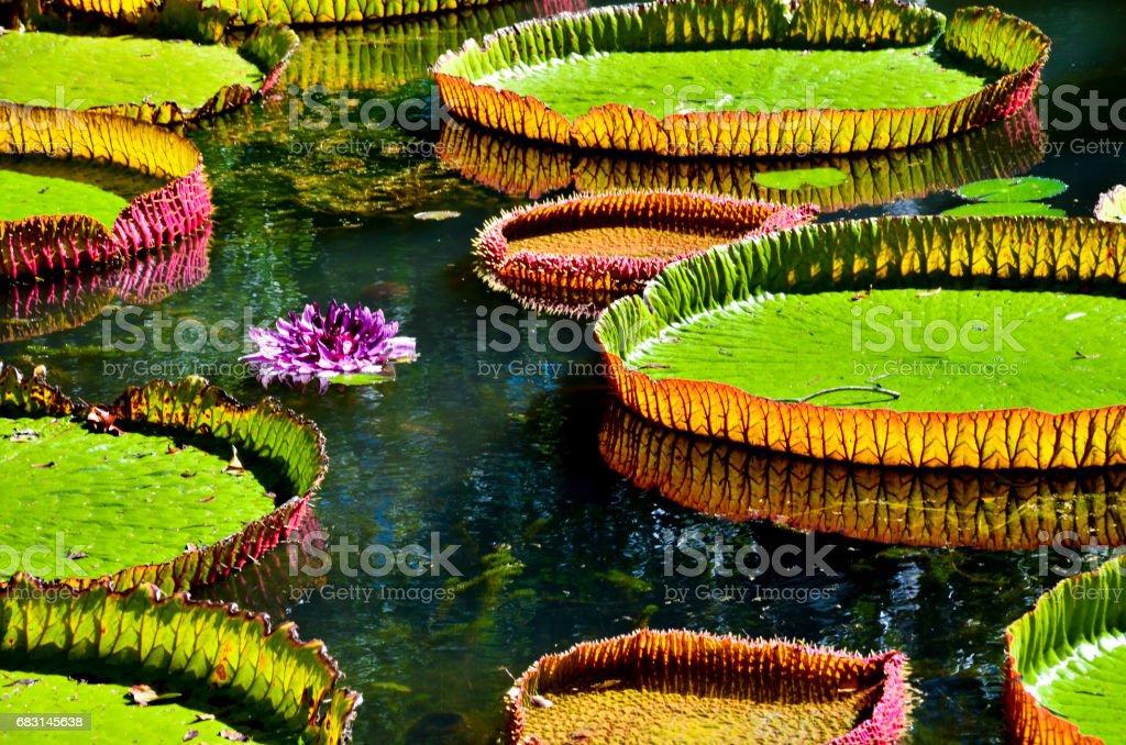 在 Pamplemousses 花園-模里西斯的巨型水百合 免版稅 stock photo