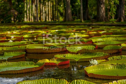The Sir Seewoosagur Ramgoolam Botanical Garden (sometimes shortened to the SSR Botanical Garden), commonly known as the Pamplemousses Botanical Garden, is a popular tourist attraction in Pamplemousses, near Port Louis, Mauritius, and the oldest botanical garden in the Southern Hemisphere. Famous for its long pond of giant water lilies (Victoria amazonica), the garden was first constructed by Pierre Poivre (1719 – 1786) in 1770, and it covers an area of around 37 hectares (91 acres).