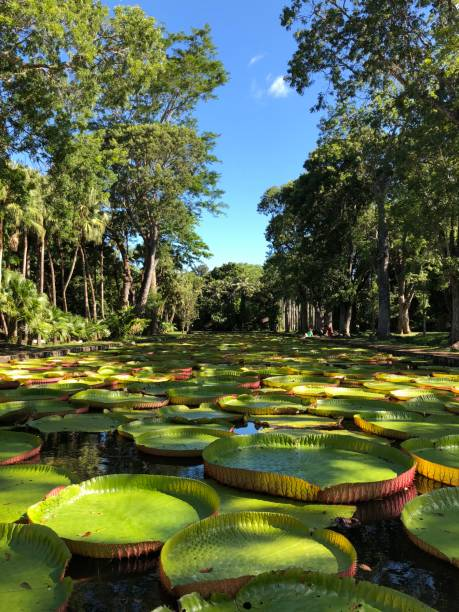 Giant water lilies (Victoria amazonica) Panoramic picture of giant water lily pond on Mauritius victoria water lily stock pictures, royalty-free photos & images