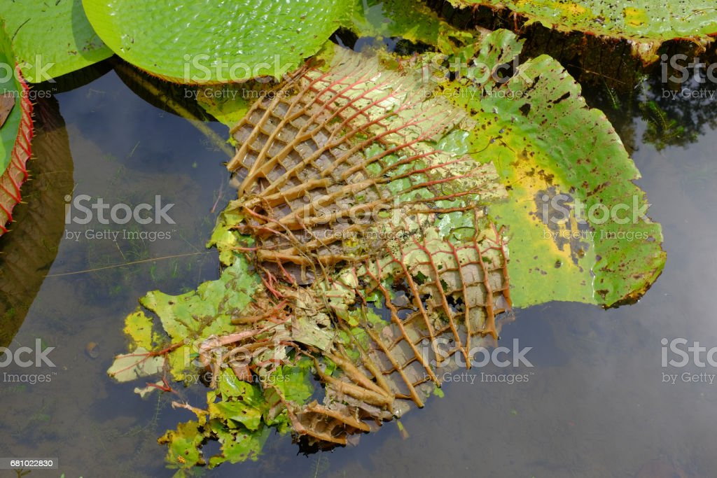 Giant water lily royalty-free stock photo