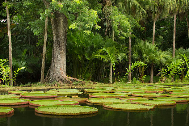 Giant waterlilies and tropical trees Pamplemousse, Mauritius - March 1, 2013: view of some tropical trees. In front of the photo, in a pond, giant water lilies (Victoria amazonica) are floating. victoria water lily stock pictures, royalty-free photos & images