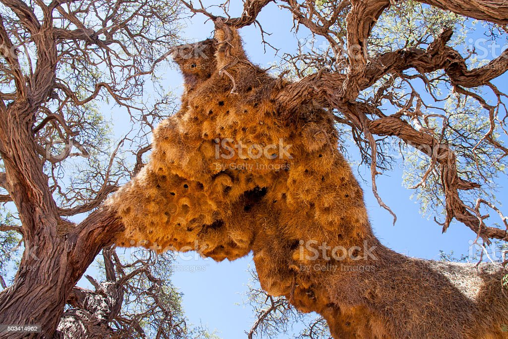 Giant Weaver Bird Nests in African Tree, Namibia stock photo