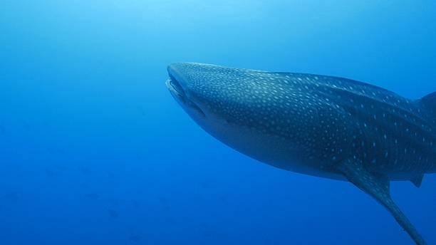 Giant Whale Shark is closing to camara stock photo