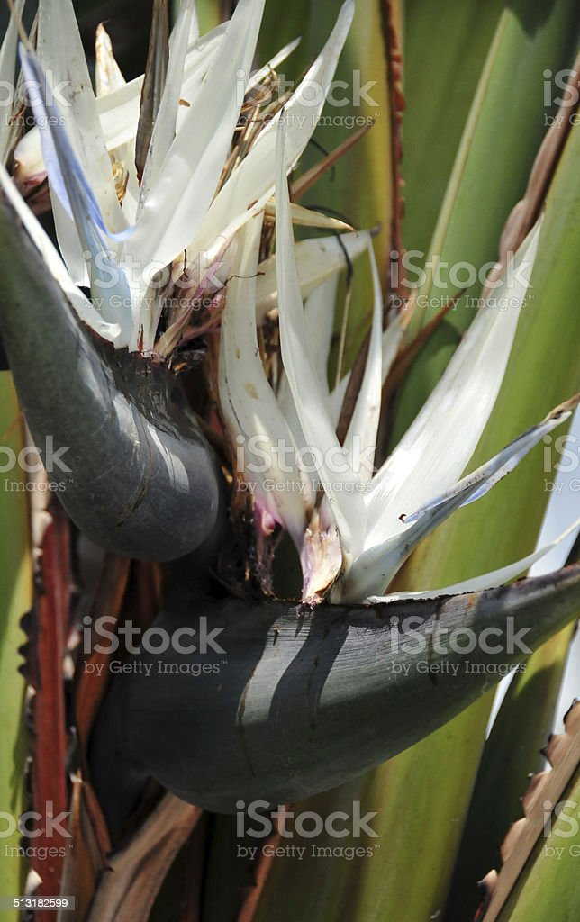 Giant white bird of paradise flower strelitzia nicolai stock photo giant white bird of paradise flower strelitzia nicolai royalty free stock photo mightylinksfo