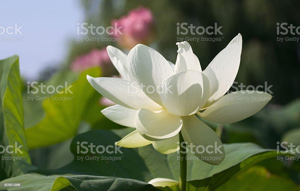 giant white lotus royalty-free stock photo