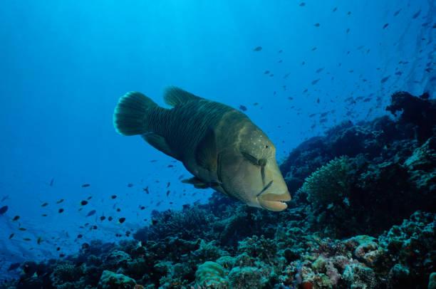 Lippfisch gereinigt durch Reinigung Lippfische – Foto