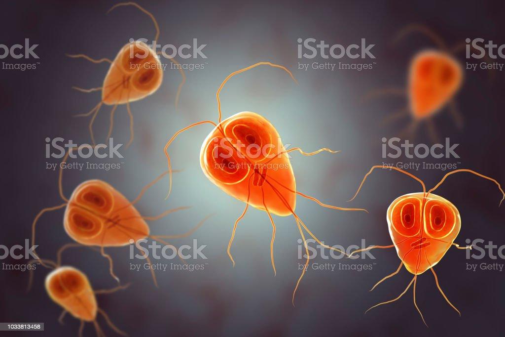 Giardia intestinalis protozoan stock photo