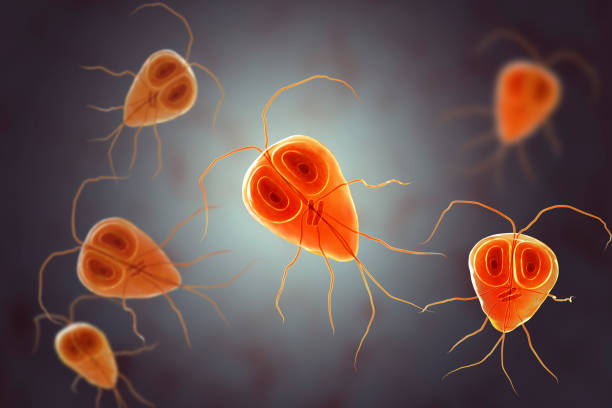 Giardia intestinalis protozoan stock photo