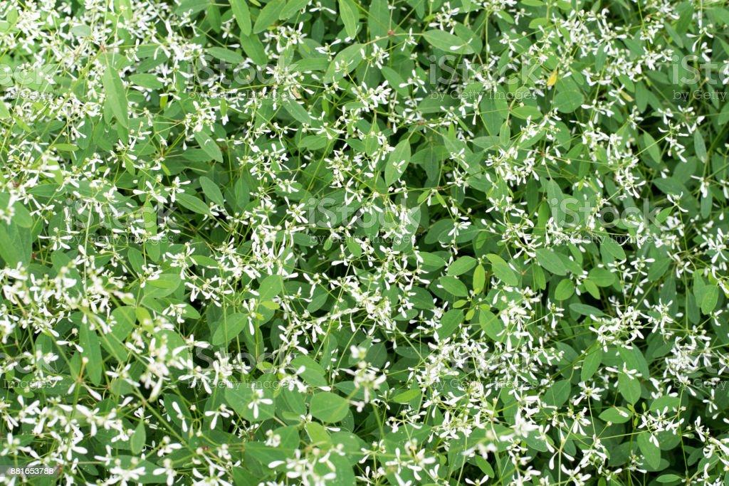 Gibasis geniculata stock photo