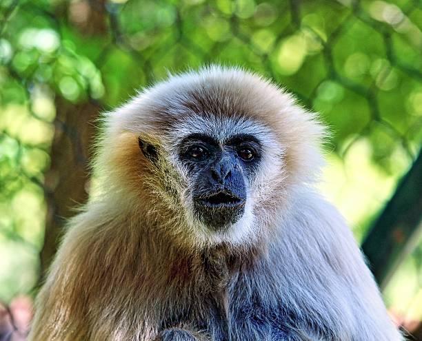 Gibbon head stock photo