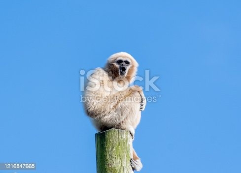 Gibbon monkey stiing on top of a tall wooden pole