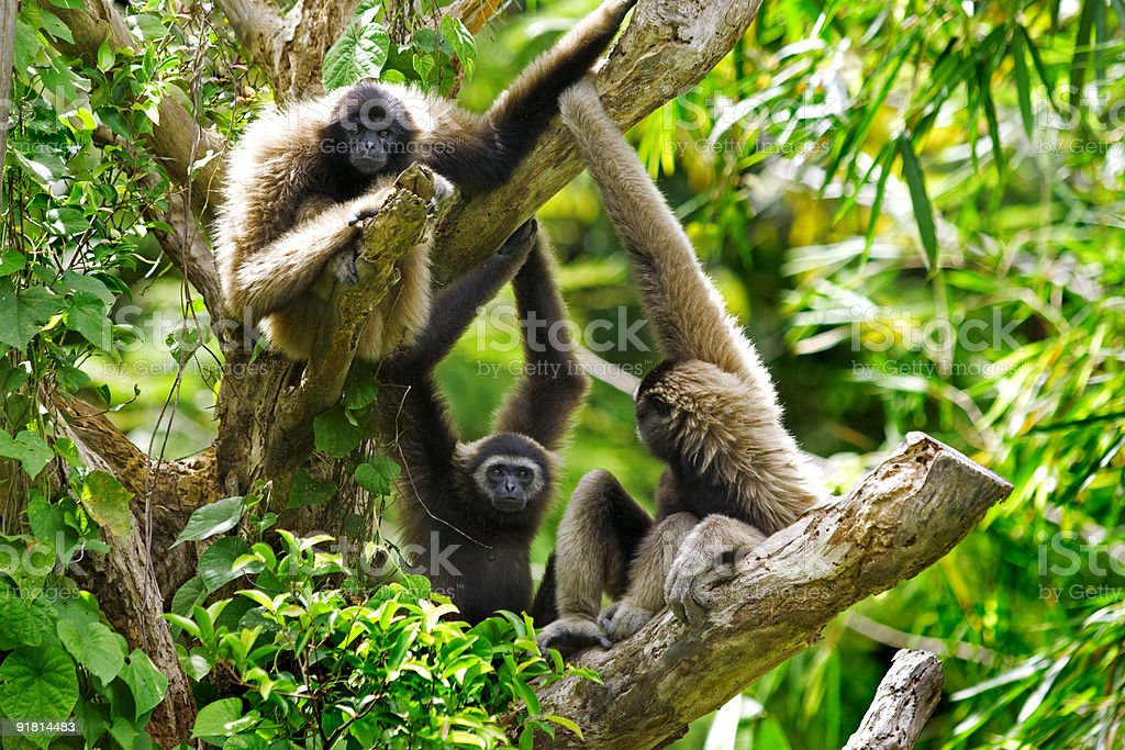 Gibbon monkeys stock photo
