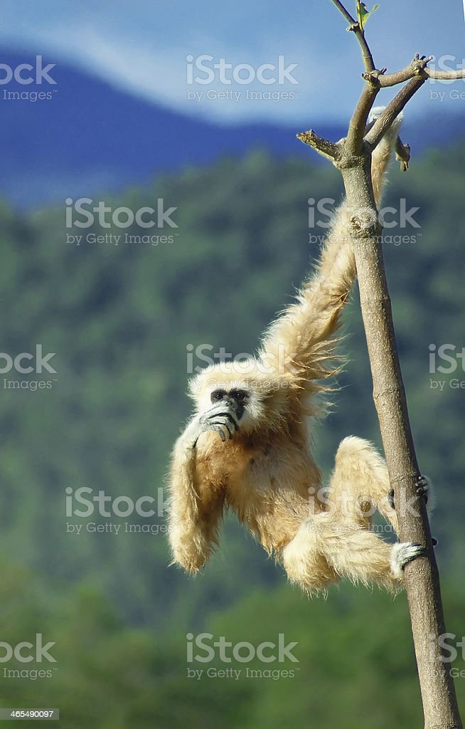 gibbon stock photo