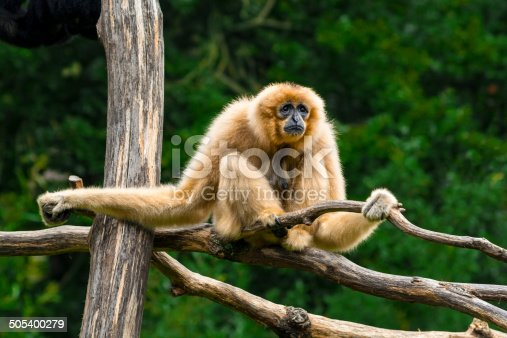 White-handed gibbon. Find more in