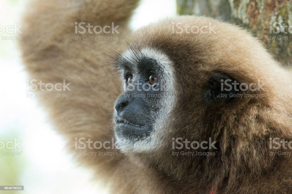 gibbon royalty-free stock photo