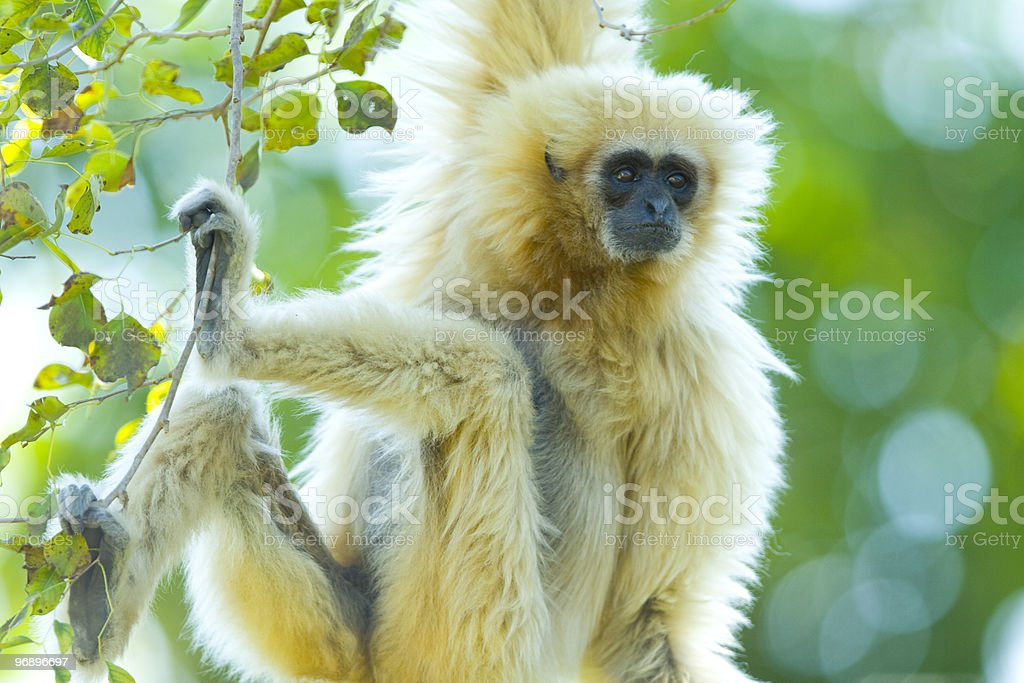 Gibbon royalty-free stock photo