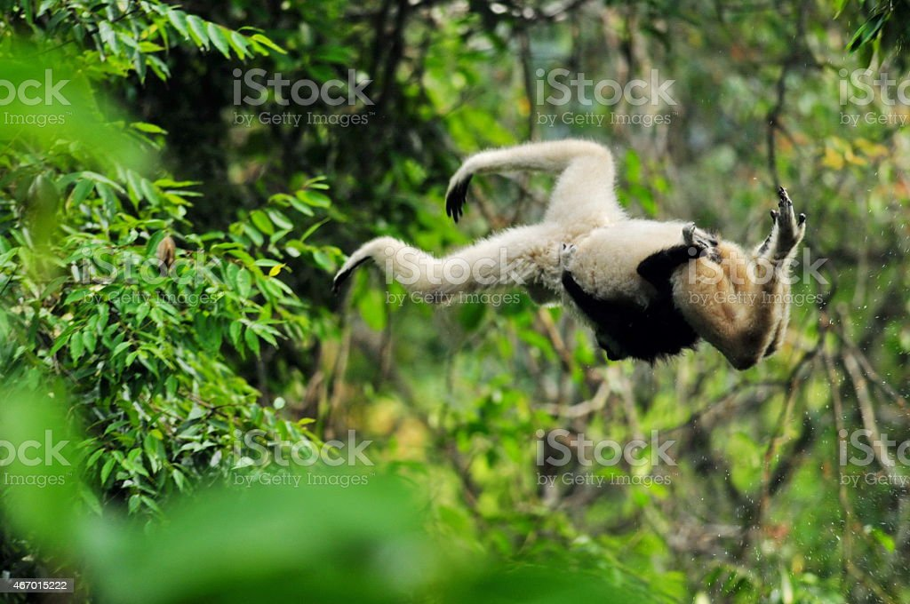 Gibbon White-Handed stock photo