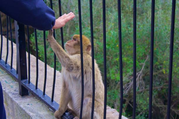 gibraltar singe en interaction avec une main de personnes - singe magot photos et images de collection