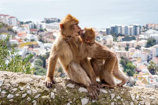 singes de gibraltar - singe magot photos et images de collection