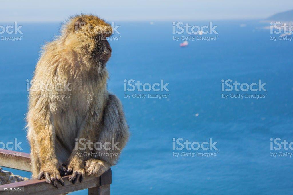 Gibraltar Barbary Ape en carril - foto de stock