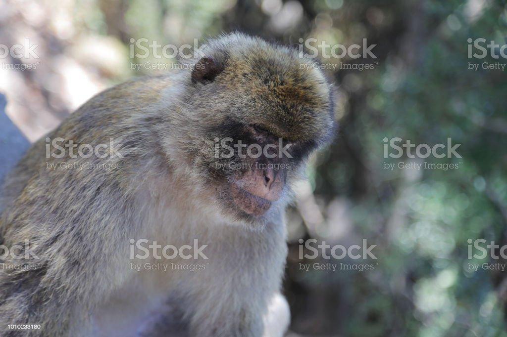 Gibraltar; Barbary macaque in nature reserve - Macaca sylvanus stock photo