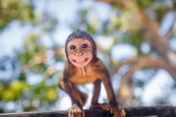 Gibraltar monkey A baby barbary macaque that smiles towards the camera lens (seeing his own reflection), living on the rocks in Gibraltar. primate stock pictures, royalty-free photos & images