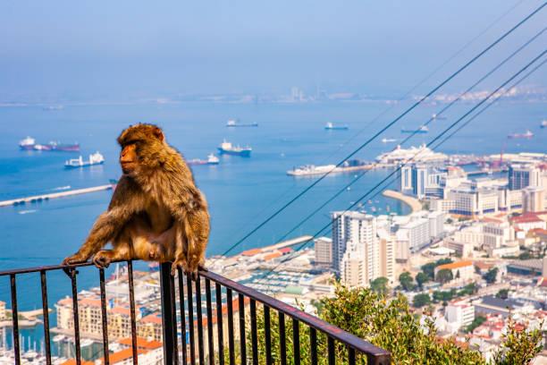 gibraltar - singe magot photos et images de collection