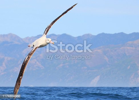 Diomedea antipodensis - Gibson's albatross is a large seabird in the great albatross group of the albatross family. The common name commemorates John Douglas Gibson, an Australian amateur ornithologist who studied albatrosses off the coast of New South Wales for thirty years.