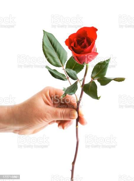 Gift of rose picture id172715861?b=1&k=6&m=172715861&s=612x612&h=ektztiry3eg nsxfjs6ne4jka8ahdop5gimr2zhsfgs=
