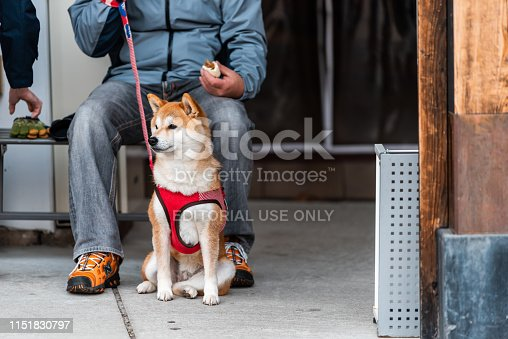 istock Gifu prefecture in Japan with traditional morning market with Akita Japanese dog on leash 1151830797