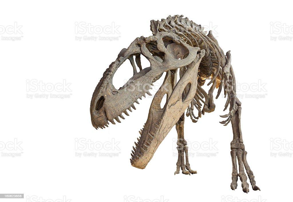 Giganotosaurus skeleton isolated stock photo