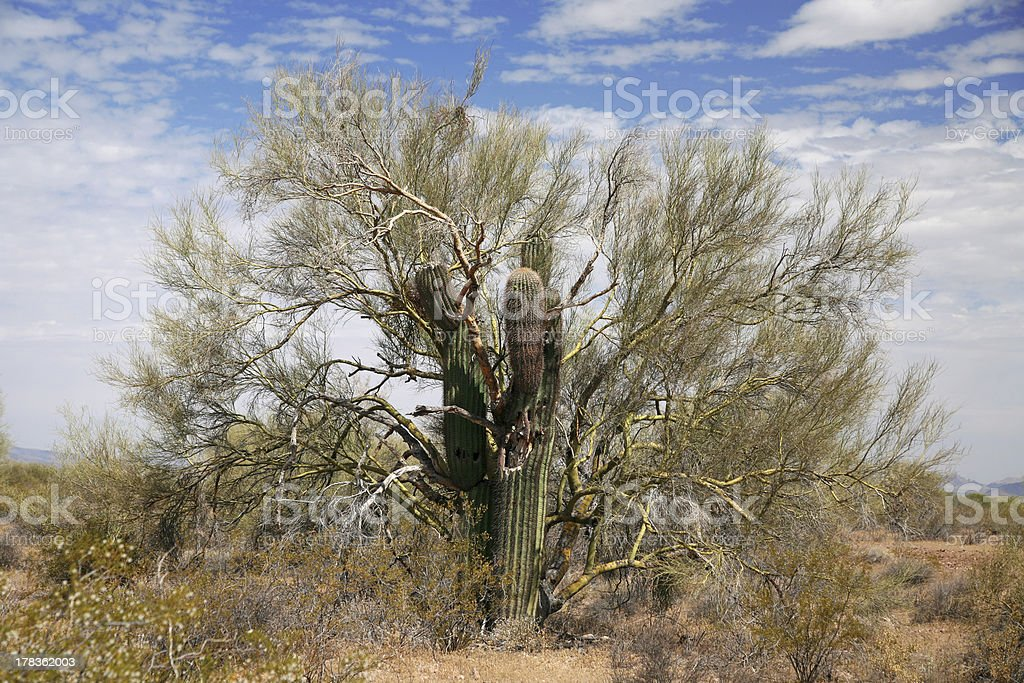 Gigant cactus taken tree royalty-free stock photo