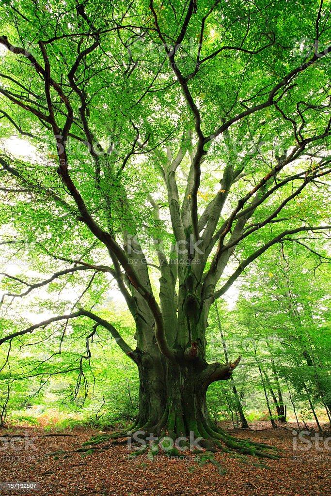 Gigantische alten Buche im Frühjahr Wald – Foto
