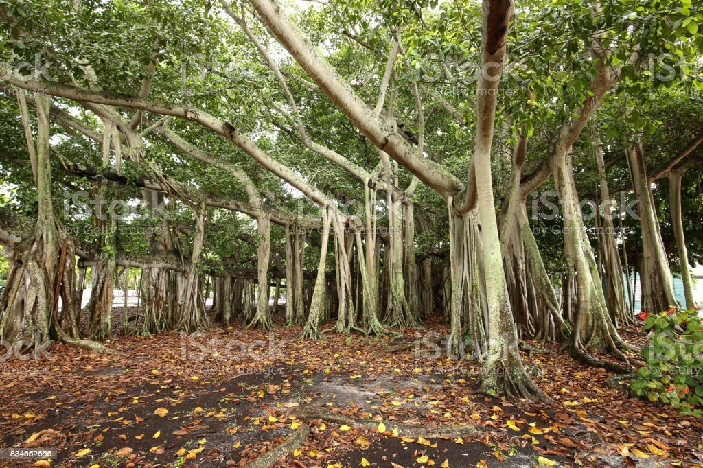 Gigantic Banyan Tree stock photo