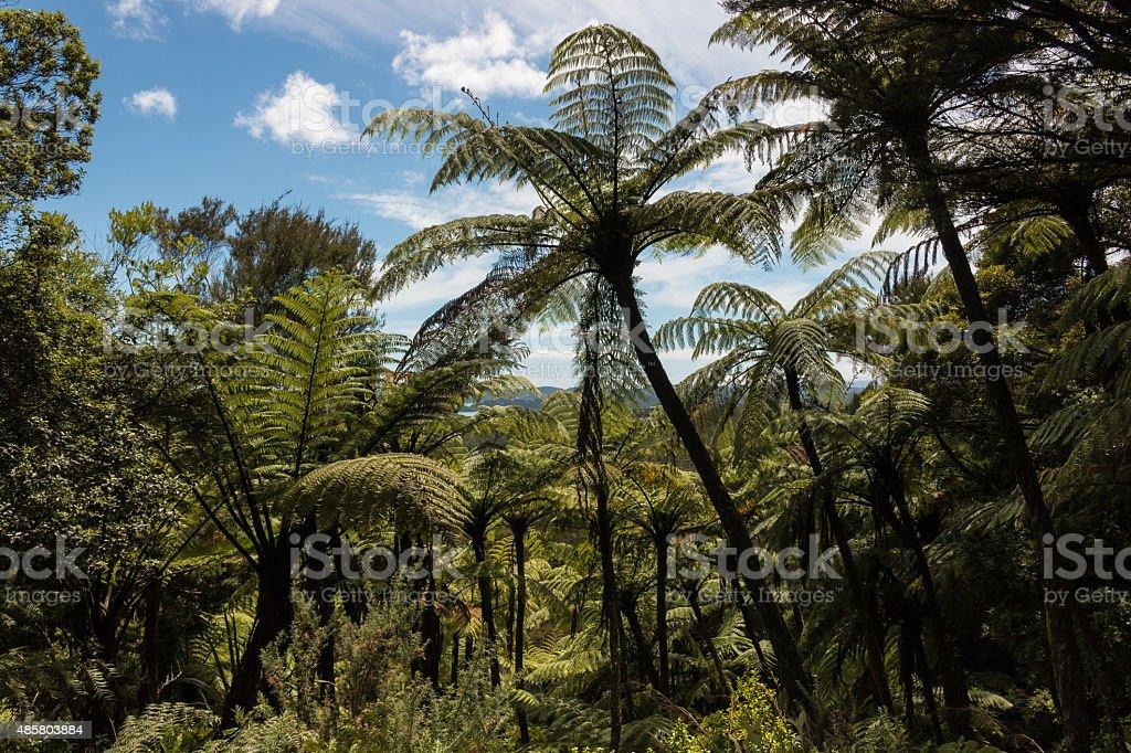 gigantic black tree ferns stock photo