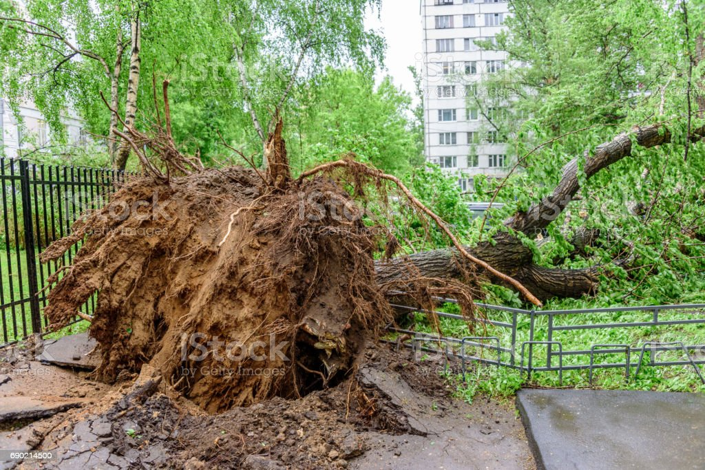 Gigantic fallen poplar tree toppled and cracks in asphalt as a result of the severe hurricane in one of courtyards of Moscow stock photo