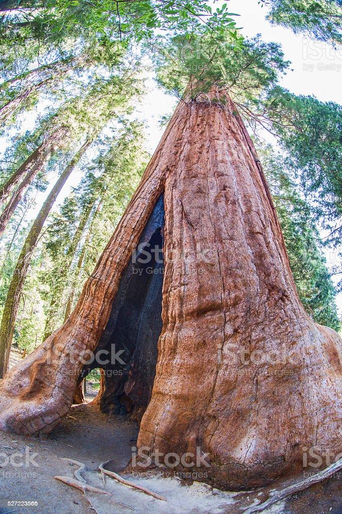 Gigantic Hollow Tree stock photo