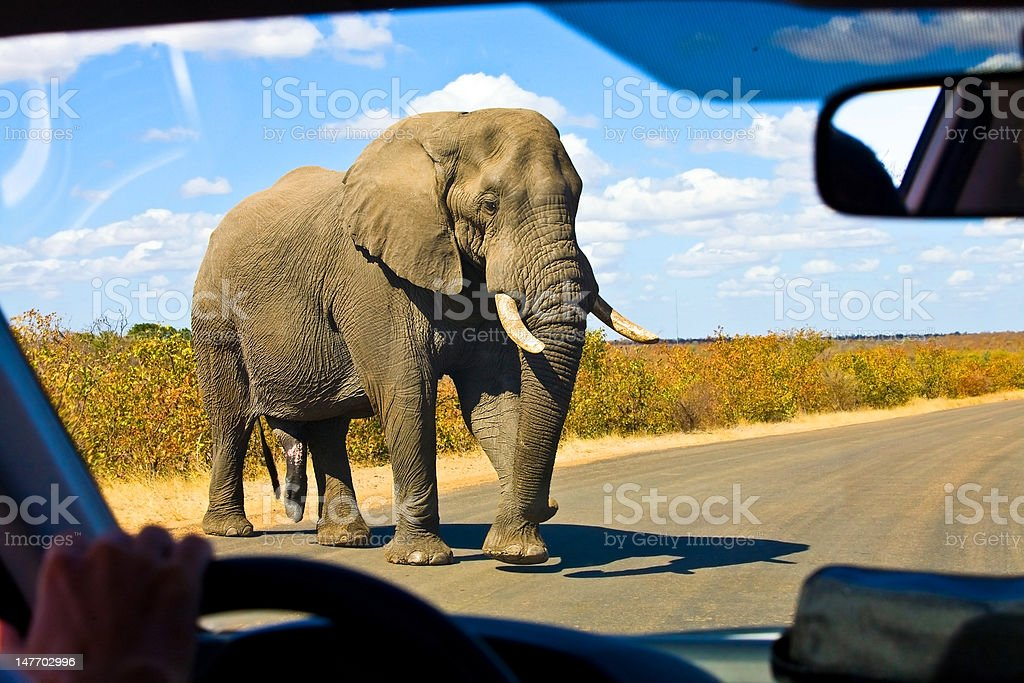 Gigantic male african elephant crossing the road stock photo