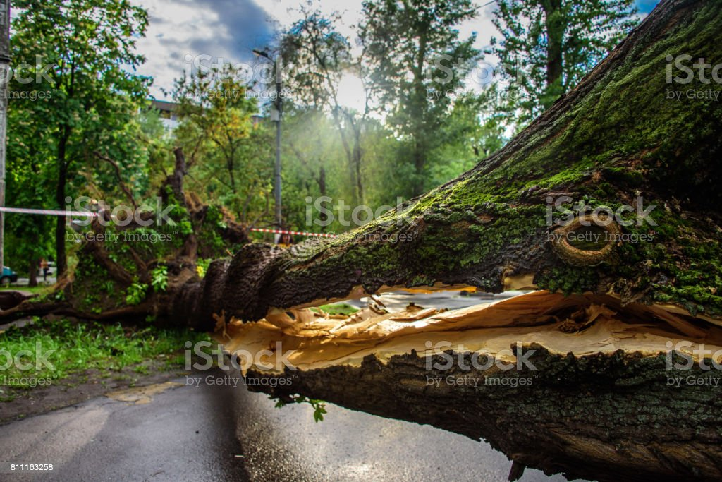 Gigantic tree with a huge crack fallen across the road as a result of the severe hurricane winds in one of courtyards of Moscow stock photo