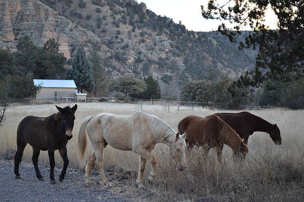 Gila Horses stock photo