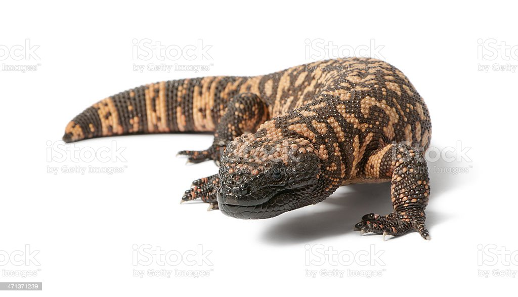 Gila monster - Heloderma suspectum, poisonous, white background royalty-free stock photo