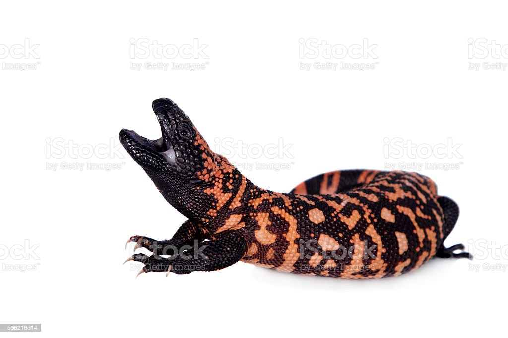Gila Monster isolated on white foto royalty-free