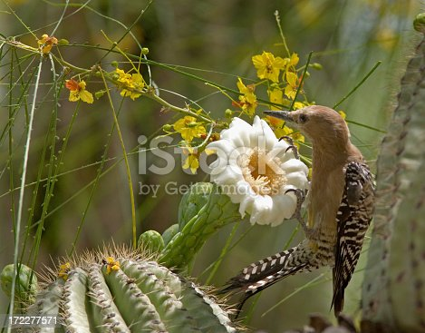 Phoenix, Arizona. A Gila woodpecker feeding on the flowers of the giant Saguaro cactus