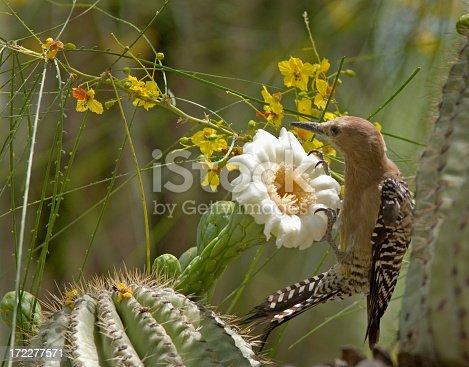 Phoenix, Arizona. A Gila woodpecker feeding on the flowers of the giant Saguaro cactus