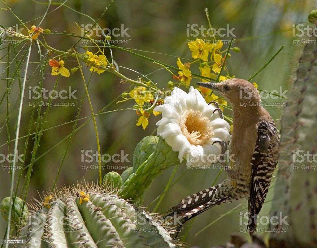 Gila Woodpecker & Cactus Bloom stock photo